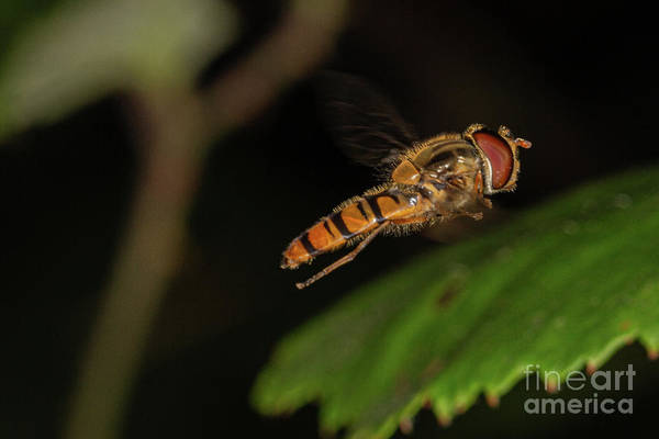 Photograph - Hover Fly by Brian Roscorla
