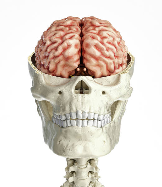 Wall Art - Photograph - Human Skull Transversal Cross Section by Leonello Calvetti