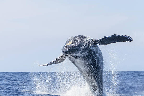 Wall Art - Photograph - Humpback Whales, Near Kona, Big Island by Stuart Westmorland