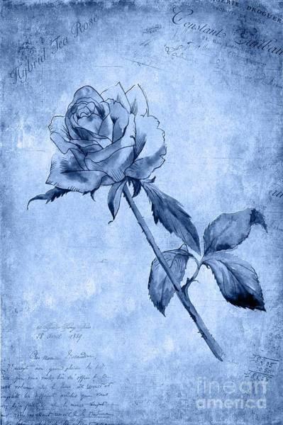 Wall Art - Painting - Hybrid Tea Rose by John Edwards