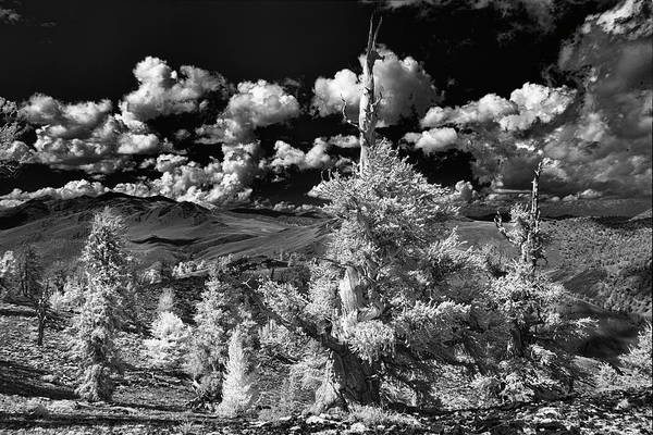 Wall Art - Photograph - Infrared View Of Ancient Bristlecone by Adam Jones