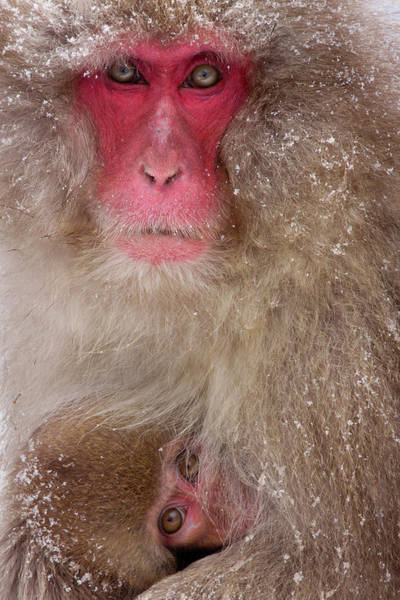 Vertebrate Photograph - Japanese Macaques, Japanese Alps by Mint Images/ Art Wolfe