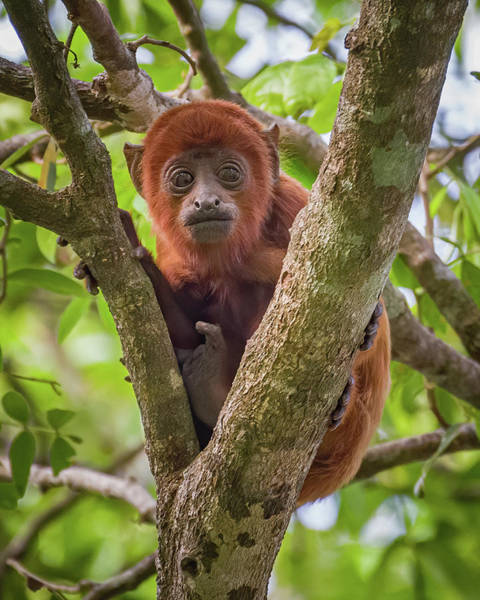 Photograph - Juvenile Red Howler Monkey La Palmita Casanare Colombia by Adam Rainoff