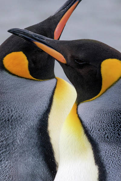 Wall Art - Photograph - King Penguin Close-up Showing by Tom Norring
