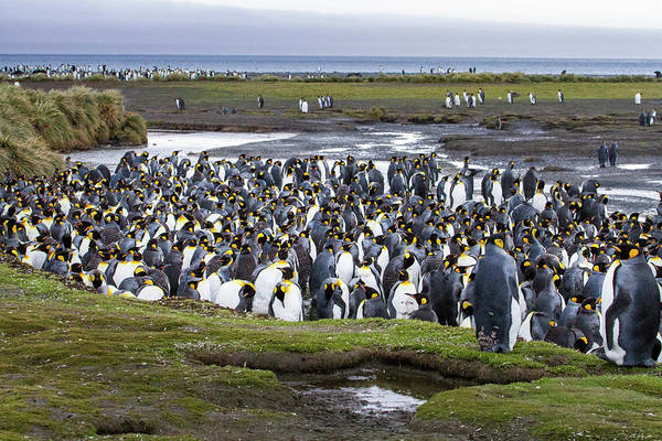 Wall Art - Photograph - King Penguin Rookery At Salisbury Plain by Tom Norring