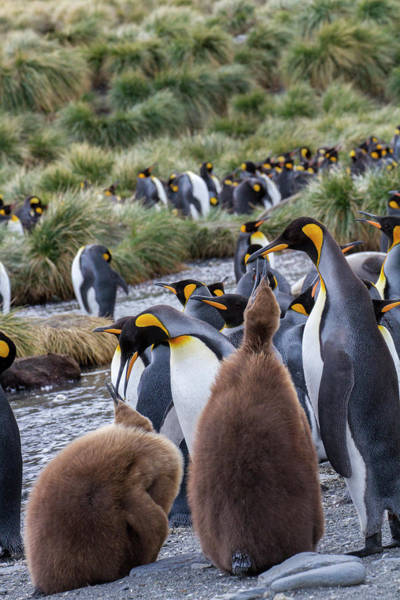 Wall Art - Photograph - King Penguin Rookery On Gold Harbor by Tom Norring
