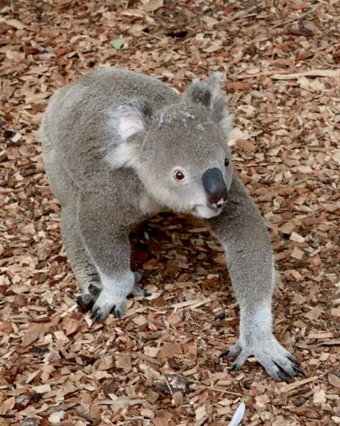Photograph - Koala by Sarah Lilja