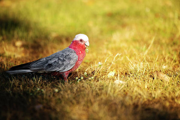 Photograph - Large Pink And Grey Galah. by Rob D Imagery