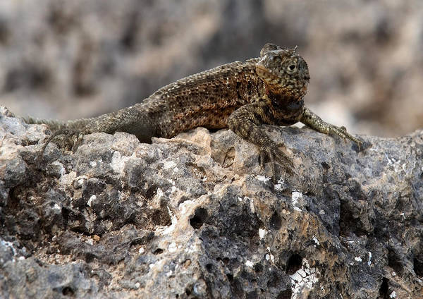 Photograph - Lava Lizard by Michael Lustbader