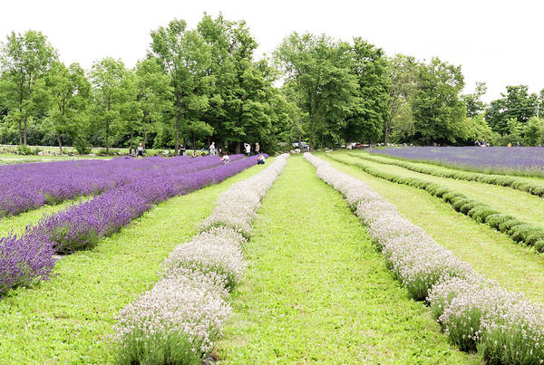 Photograph - Lavender Farm by Nick Mares