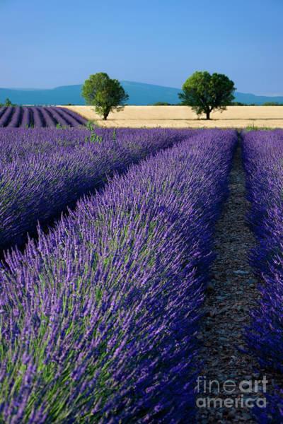 Photograph - Lavender Fields by Brian Jannsen