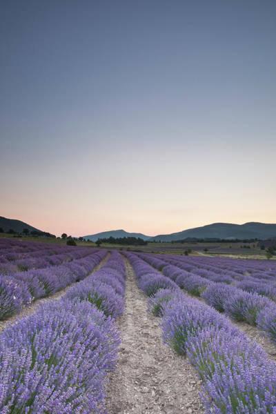Abundance Photograph - Lavender Fields Near To Sault At Dawn by Julian Elliott Photography