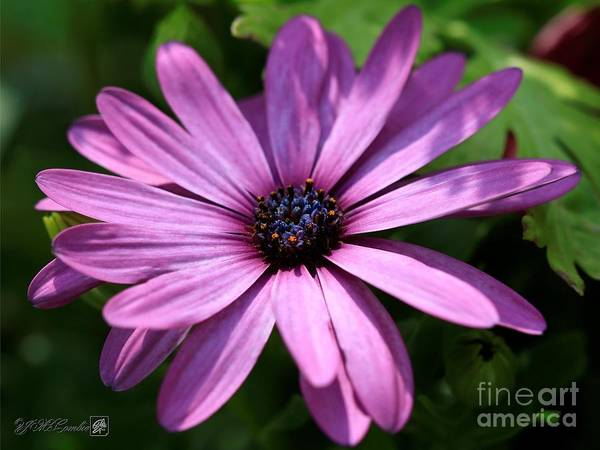 Wall Art - Photograph - Lavender Shades Osteospermum From The Akila Mix by J McCombie