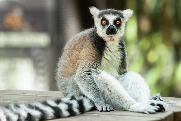 Photograph - Lemur by Rob D Imagery