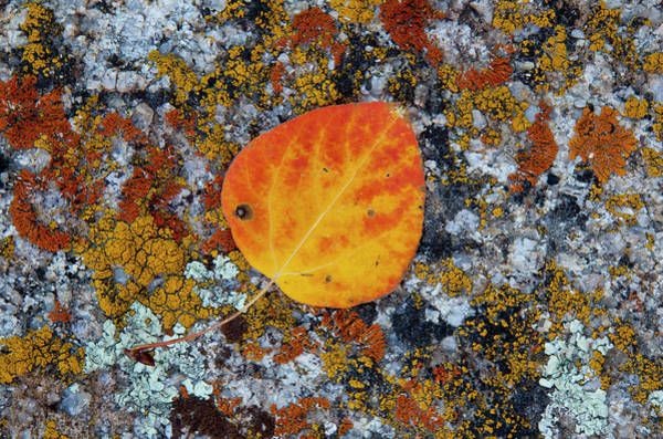 Wall Art - Photograph - Lichen And Fallen Cottonwood Leaf by Darrell Gulin