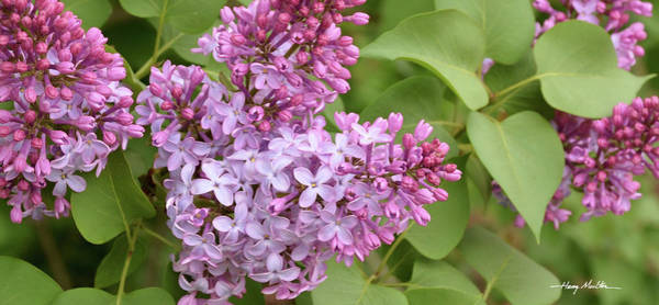 Photograph - Lilacs by Harry Moulton