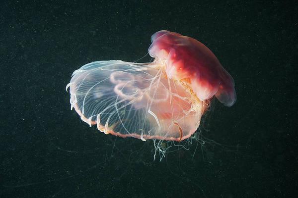 Moon Jellyfish Photograph - Lions Mane Jellyfish Cyanea Capillata by Cultura Rf/alexander Semenov