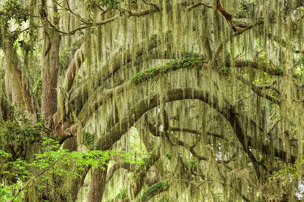 Wall Art - Photograph - Live Oaks Draped In Spanish Moss by Adam Jones