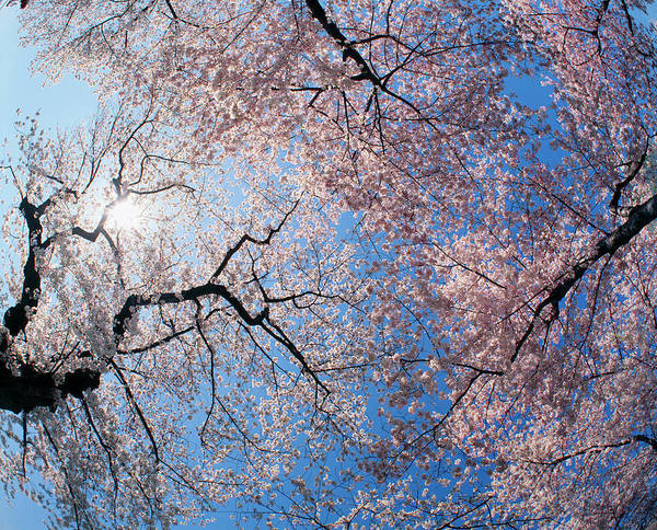 Wall Art - Photograph - Low Angle View Of Cherry Blossom Trees by Panoramic Images