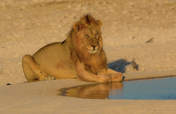 Wall Art - Photograph - Male Lion Near Waterhole Etosha by Darrell Gulin