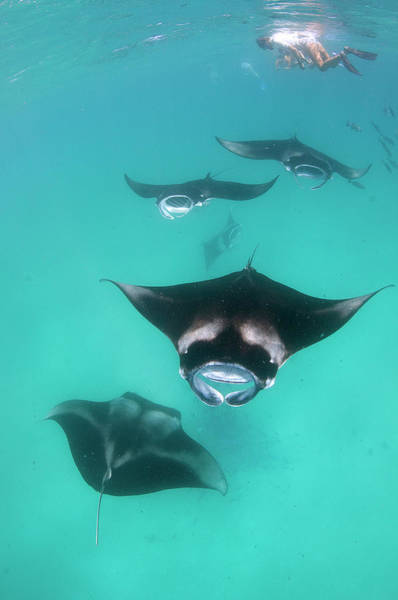 Wall Art - Photograph - Manta Rays by Michael Aw