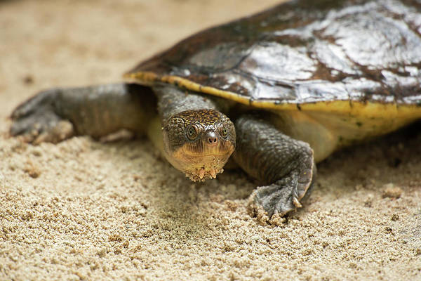 Photograph - Mary River Turtle by Rob D Imagery