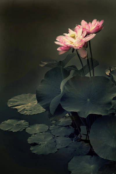 Pink Lotus Flower Photograph - Midnight Lotus by Jessica Jenney