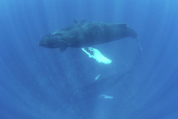 Wall Art - Photograph - Mother, Calf, And Escort Humpback by Ethan Daniels