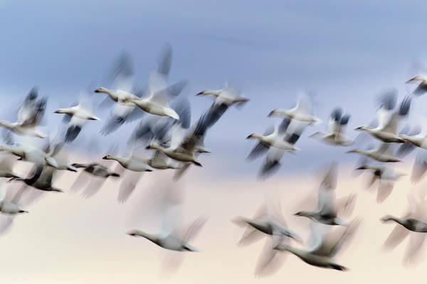Wall Art - Photograph - Motion Blur, Flock Of Sandhill Cranes by Adam Jones