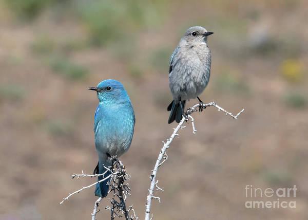 Wall Art - Photograph - Mountain Bluebird Pair by Mike Dawson