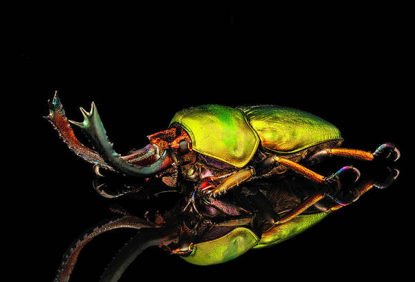 Photograph - Mt. Arfak Stag Beetle by Gary Shepard