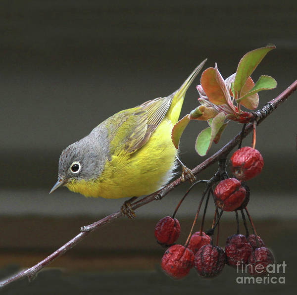 Berries Wall Art - Photograph - Nashville Warbler by Gary Wing
