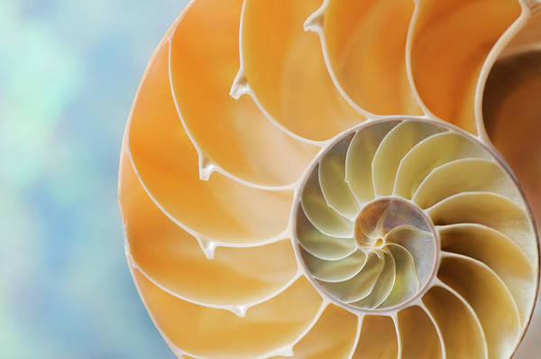 Mother Of Pearl Photograph - Nautilus Shell by Nautilus shell studios