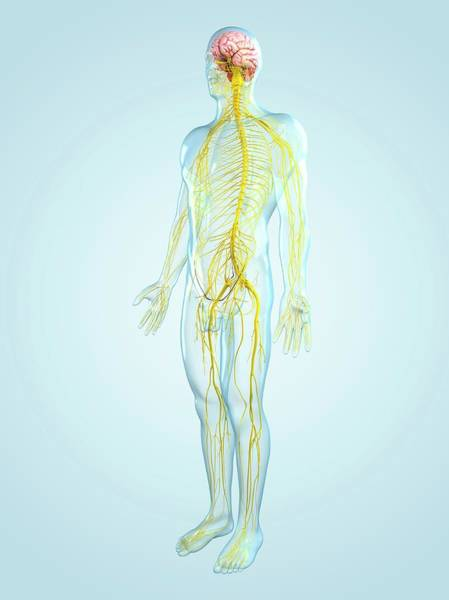 Organ Digital Art - Nervous System, Artwork by Sciepro