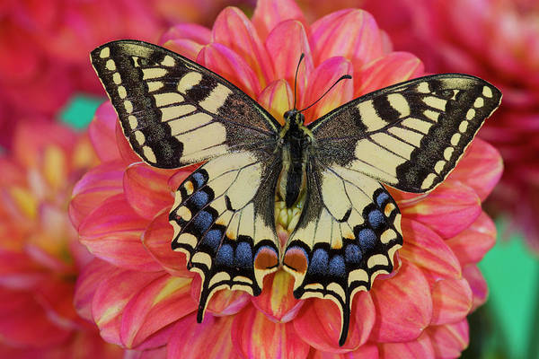 Wall Art - Photograph - Old World Swallowtail Butterfly by Darrell Gulin