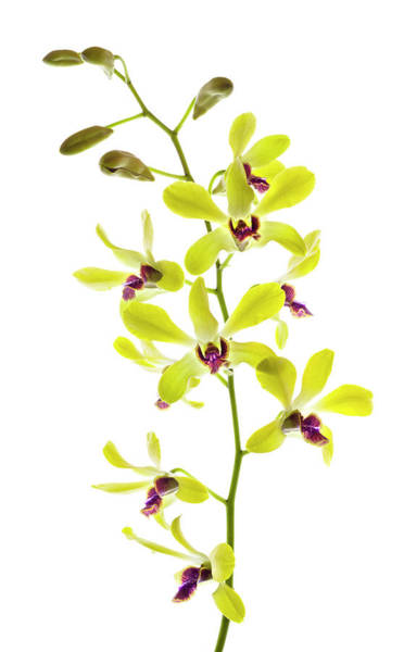 Wall Art - Photograph - Orchids Against White Background by Panoramic Images
