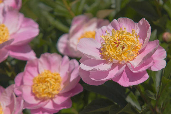 Photograph - Paeonia Lactiflora Gleam Of Light 1 by Jenny Rainbow