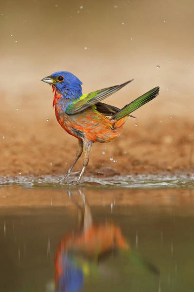 Waters Edge Wall Art - Photograph - Painted Bunting Passerina Ciris Male by Danita Delimont