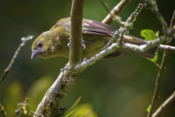Photograph - Palm Tanager San Jorge Ibague Colombia by Adam Rainoff