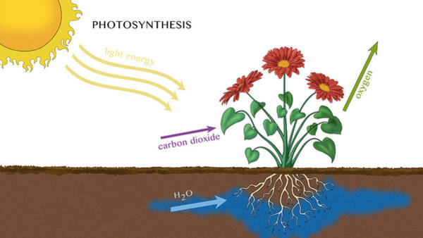 Wall Art - Photograph - Photosynthesis, Illustration by Monica Schroeder
