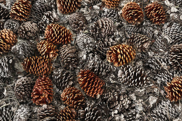 Wall Art - Photograph - Pinecones On Ground From Ancient by Adam Jones
