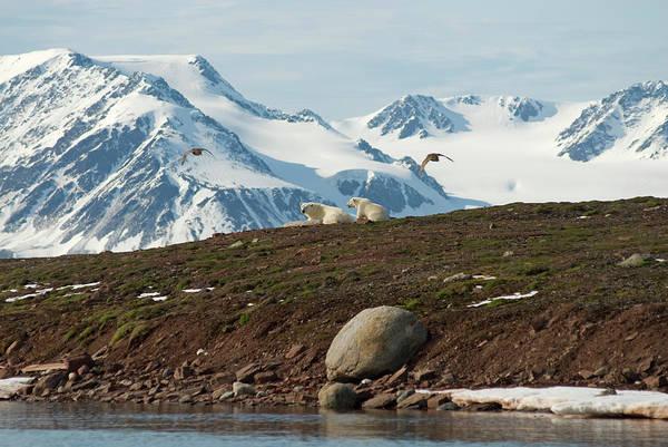 Mammal Photograph - Polar Bear Ursus Maritimus Sow And Cub by Danita Delimont