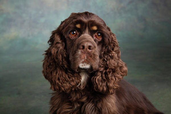 Spaniel Photograph - Portrait Of A Cocker Spaniel Dog by Panoramic Images