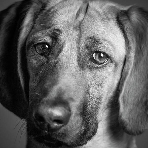 Wall Art - Photograph - Portrait Of A Hound Mix Dog by Panoramic Images