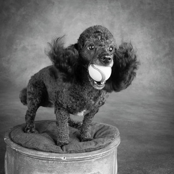 Wall Art - Photograph - Portrait Of A Mini Poodle Dog by Panoramic Images