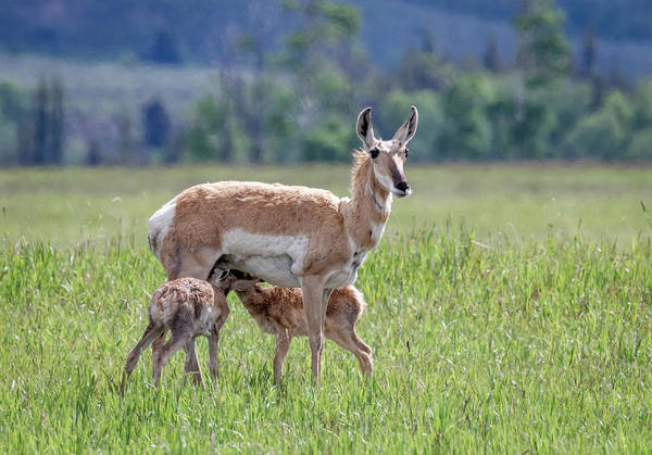 Photograph - Pronghorn Antelope Doe And Fawns by Michael Chatt