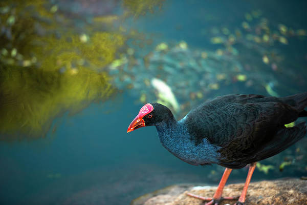 Photograph - Purple Swamphen by Rob D Imagery