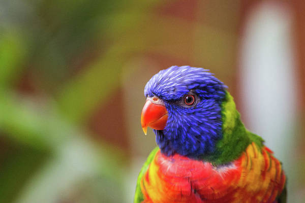 Wall Art - Photograph - Rainbow Lorikeet by Martin Newman