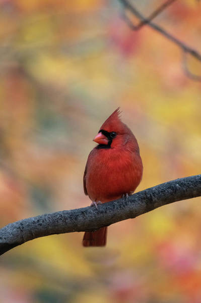 Photograph - Red Cardinal In Front Of Fall Foliage by Dan Friend