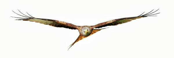 Wall Art - Photograph - Red Kite - Bird Of Prey In Flight by Grant Glendinning